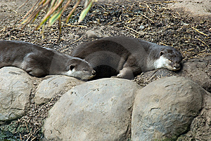 Smooth Coated Otter Royalty Free Stock Photo - Image: 14898365