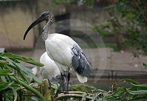 Exotic Bird Royalty Free Stock Photography - Image: 1496037