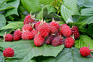 Appetizing Raspberry Royalty Free Stock Photography - Image: 14901417