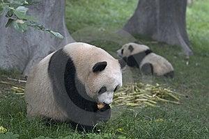 Pandas Royalty Free Stock Image - Image: 14901466