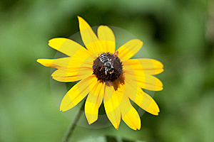 Black Eyed Susan With Bee Stock Photo - Image: 14901700