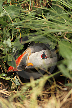 Puffin Hiding In Its Burrow Royalty Free Stock Photography - Image: 14903357