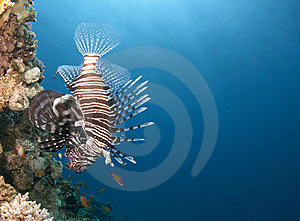 Lion Fish Swimming Upside Down Stock Image - Image: 14904281