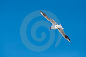 Seagull Flying Royalty Free Stock Photography - Image: 14904787