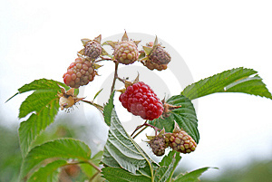 Ripe Appetizing Raspberry Royalty Free Stock Photography - Image: 14907107