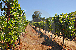 Sonoma Vineyard Stock Photos - Image: 14907653