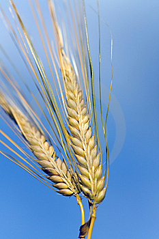Ripe  Grain Ready For Harvest Growing In A Fa Royalty Free Stock Photos - Image: 14908168