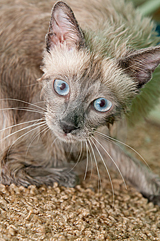 Siamese Kitty After A Bath Stock Images - Image: 14911154