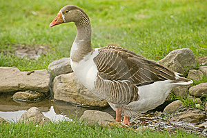 Goose Paddling In A Stream Closeup. Royalty Free Stock Photography - Image: 14912627
