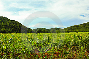 Wide Greenery Corn Field Stock Image - Image: 14914461