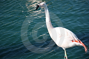 Flamingo In The Water Royalty Free Stock Images - Image: 14914469