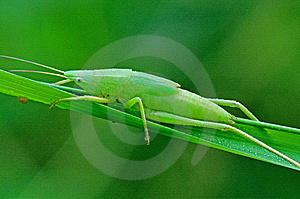 Green Katydid Royalty Free Stock Images - Image: 14916589