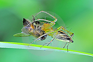 Lynx Spider Eating A Bee Royalty Free Stock Images - Image: 14916879