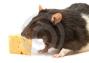 Home Rat With The Cheese Stock Photos - Image: 14921143