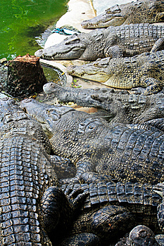 Crocodiles Stock Photo - Image: 14922070