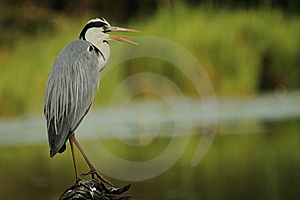 Grey Heron Perched On Log Royalty Free Stock Photos - Image: 14922288