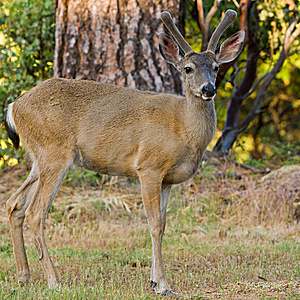 Blacktail Stag In Velvet Stock Image - Image: 14924211