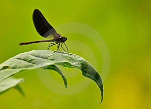 Damselfly On Green Leaf Royalty Free Stock Image - Image: 14924636