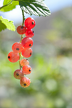 Red Currant Royalty Free Stock Photo - Image: 14924995