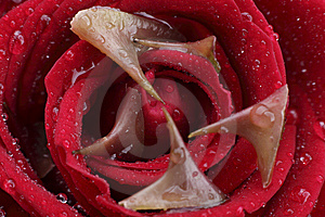 Rose And Thorn Stock Photos - Image: 14926193