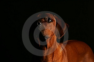 Low Key Shot Rhodesian Ridgeback Stock Photos - Image: 14928673