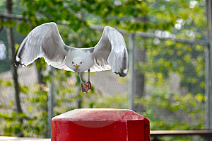 Funny Seagull Royalty Free Stock Photography - Image: 14930027