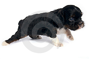 Shisu Puppy Walking Royalty Free Stock Photo - Image: 14931505