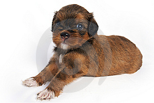 Shisu Puppy Stock Images - Image: 14931714