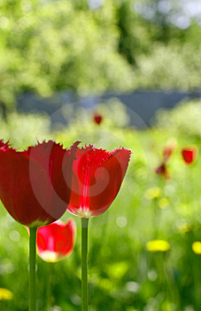 Tulips Royalty Free Stock Photos - Image: 14932348