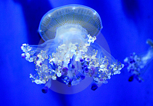 Jellyfish With Tentacles Royalty Free Stock Photos - Image: 14933438
