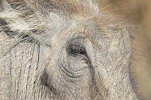 Close Up Of Warthog Face Stock Photo - Image: 14934140