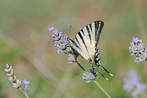 Papilio Butterfly Stock Images - Image: 14936574