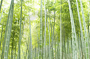 Bamboo Forest Stock Photos - Image: 14937173