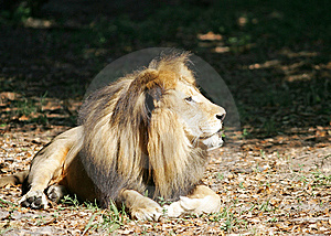 Lion 1 Royalty Free Stock Photo - Image: 14938165