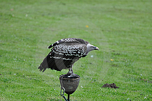 Vulture In Captivity Stock Image - Image: 14939291