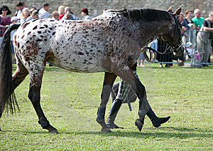 Horse At Competition Royalty Free Stock Photos - Image: 14939578
