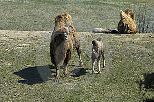 Bactrian Camel Pair And Offspring Stock Image - Image: 14940951