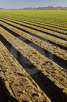 Lettuce Field Stock Images - Image: 14942224