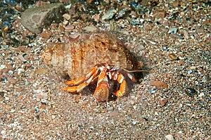 Hermit Crab Walking Stock Photos - Image: 14942383