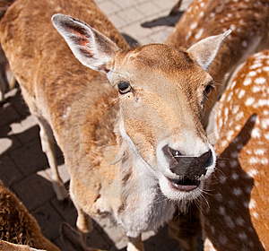 Friendly Deer Royalty Free Stock Photos - Image: 14943388