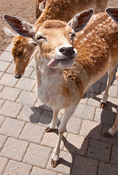 Friendly Deer Royalty Free Stock Photography - Image: 14943417
