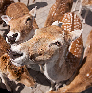 Friendly Deer Stock Photo - Image: 14943420