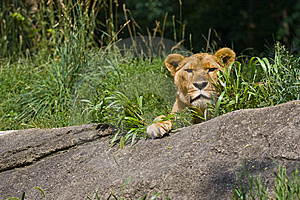 Lioness Stock Image - Image: 14944011