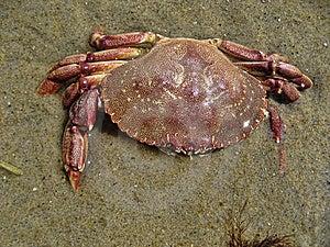 Crab In Aquinnah Beach Stock Photos - Image: 14951553