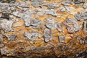 Textura De La Corteza Del Pino. Imagen de archivo - Imagen: 14952961