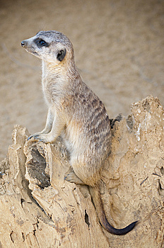 Meerkat (southern African Mongoose) Royalty Free Stock Images - Image: 14955379