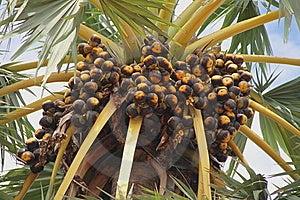 Cambodian Palm Tree Stock Image - Image: 14958871
