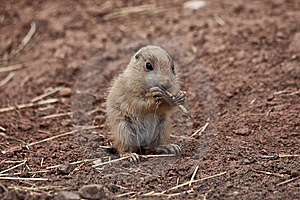 Baby Marmot (Prairie Dog, Gopher) Eating Straw Royalty Free Stock Photography - Image: 14961137