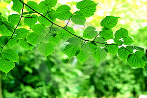 Green Leaves Stock Images - Image: 14963464