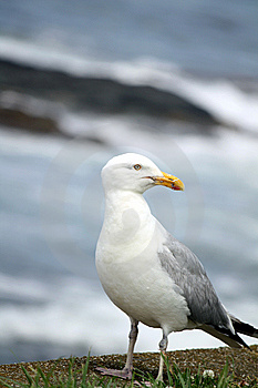 Seagull Closeup Stock Image - Image: 14964691